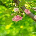 フゲンゾウ 普賢象(八重桜) Flower Photo1