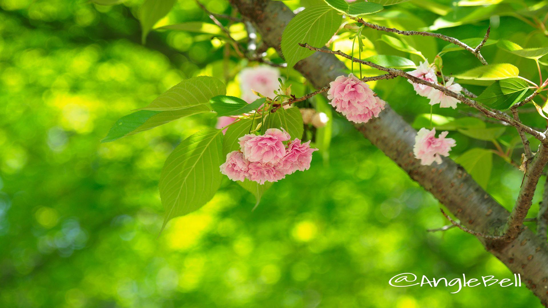 フゲンゾウ 普賢象(八重桜)
