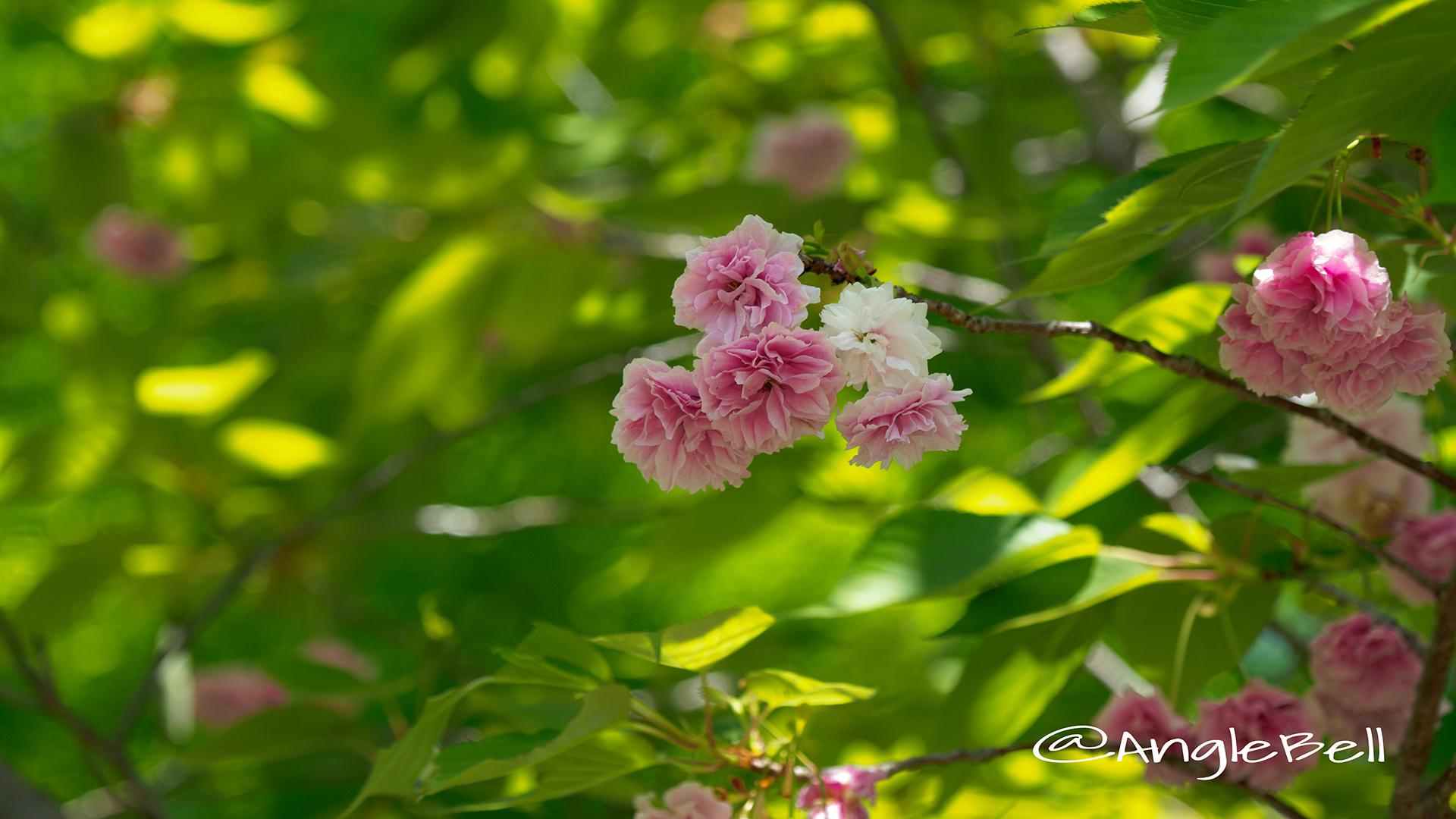 フゲンゾウ 普賢象(八重桜) Flower Photo2