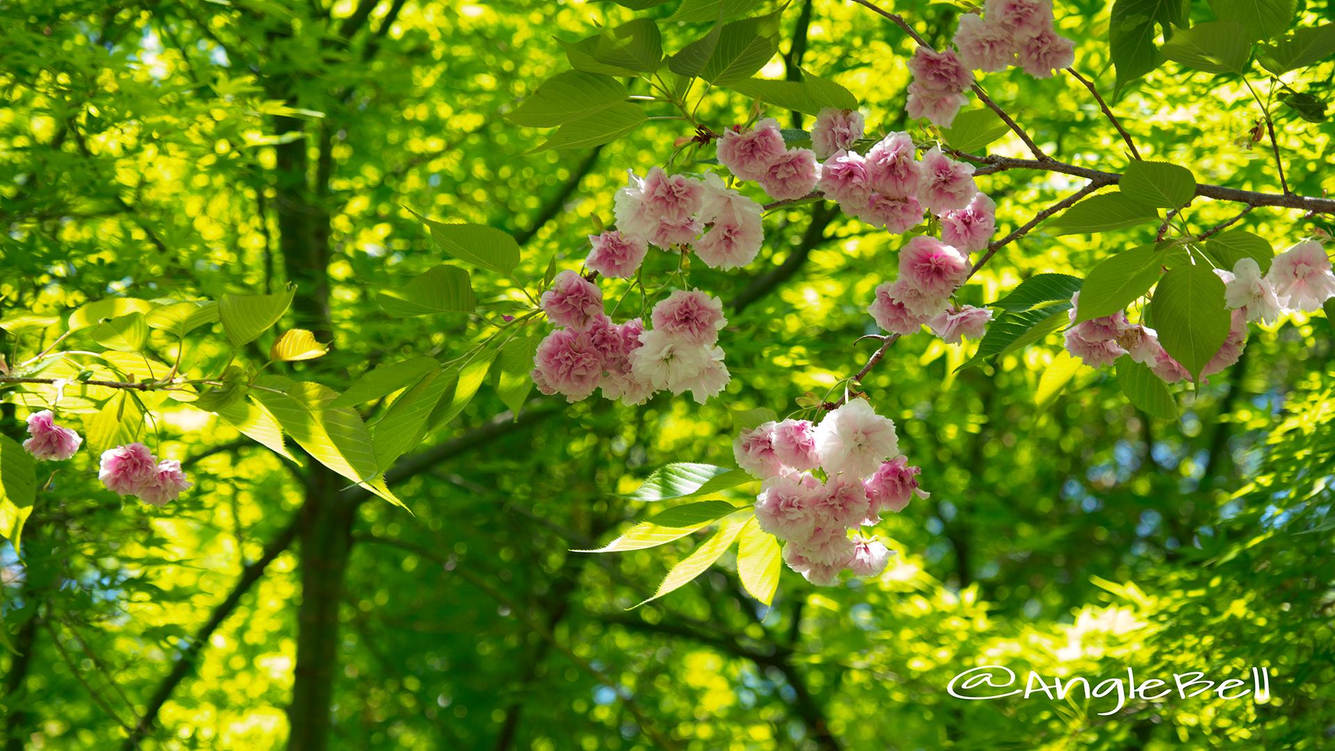 フゲンゾウ 普賢象(八重桜) Flower Photo3
