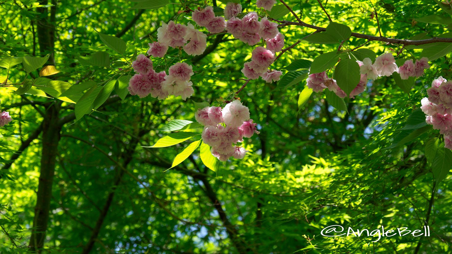フゲンゾウ 普賢象(八重桜) Flower Photo4