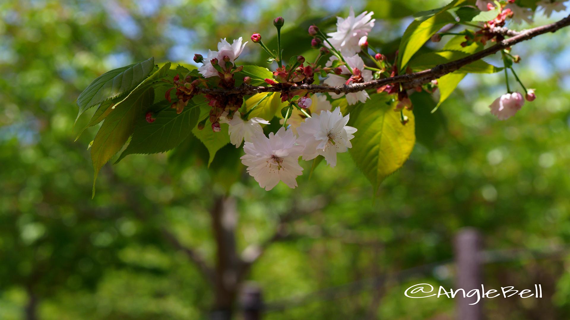 ナラノヤエザクラ 奈良の八重桜 Flower Photo3