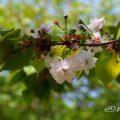 ナラノヤエザクラ 奈良の八重桜 Flower Photo1