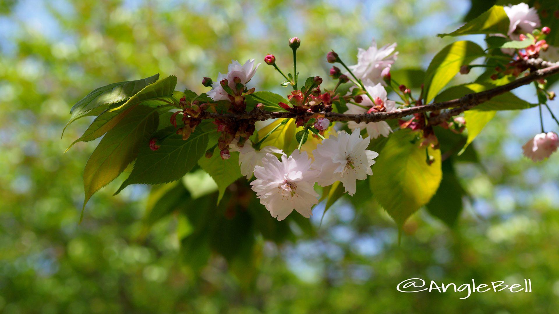 ナラノヤエザクラ 奈良の八重桜