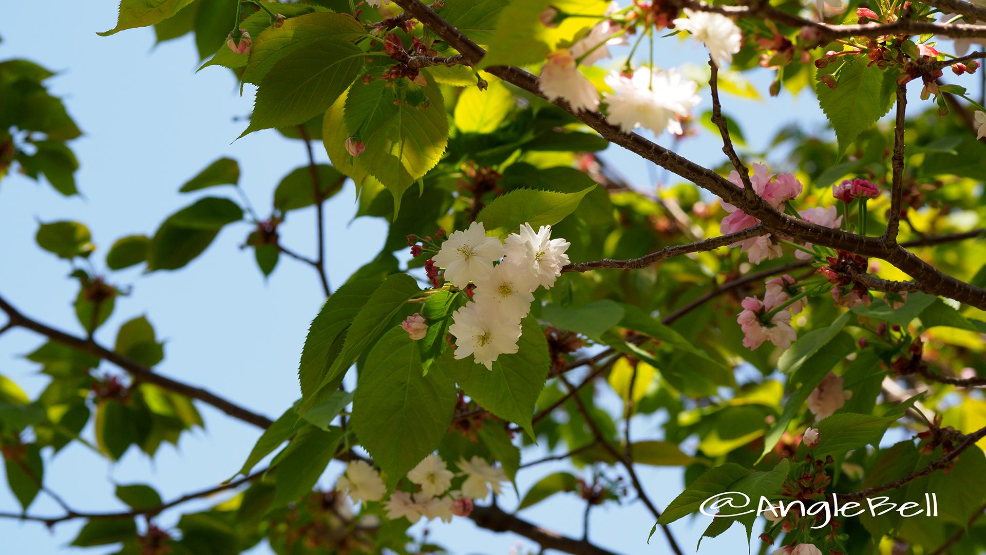 ナラノヤエザクラ 奈良の八重桜 Flower Photo2