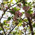 ランラン 蘭蘭(八重桜) Flower Photo1