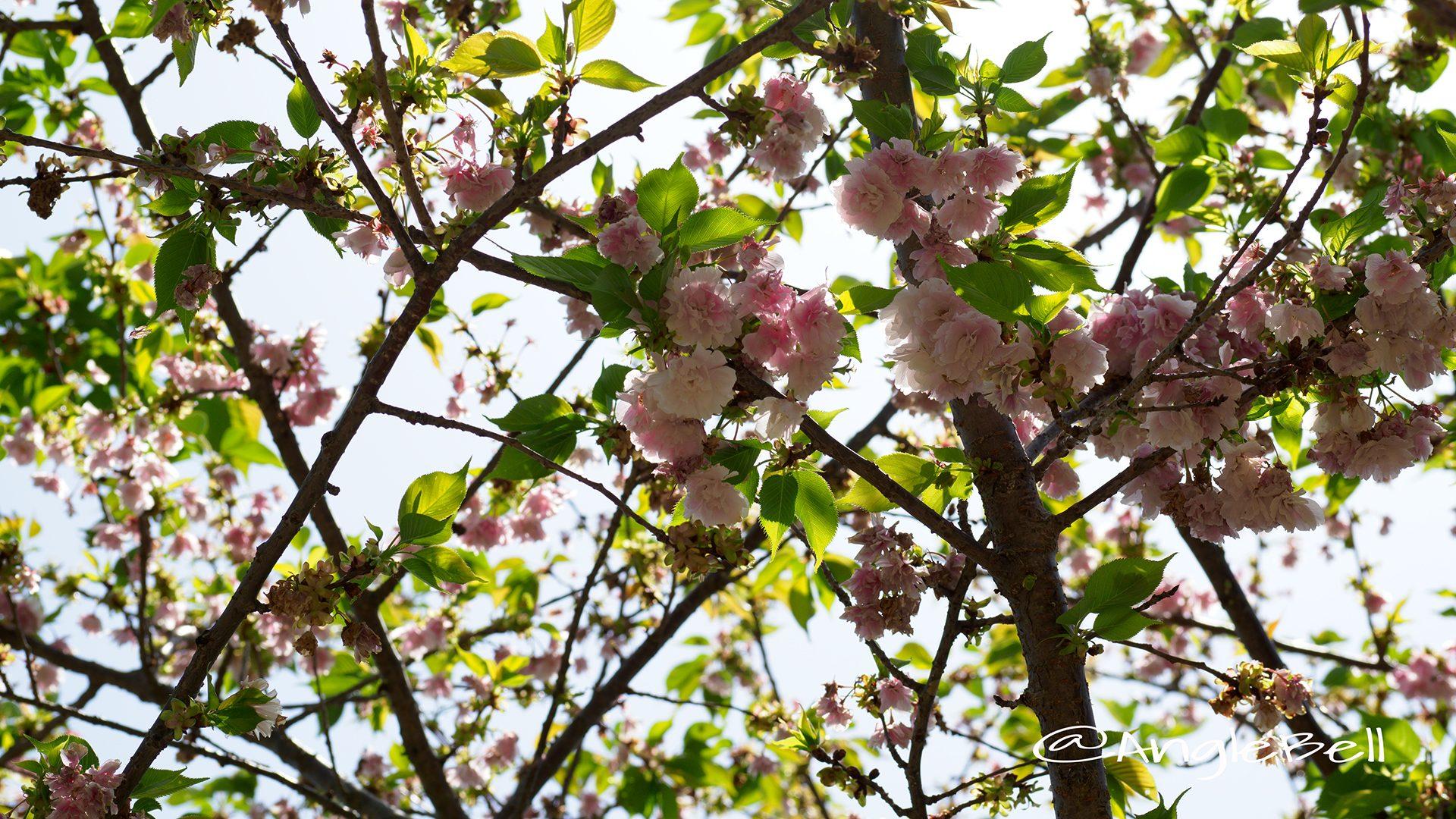 ランラン 蘭蘭(八重桜)