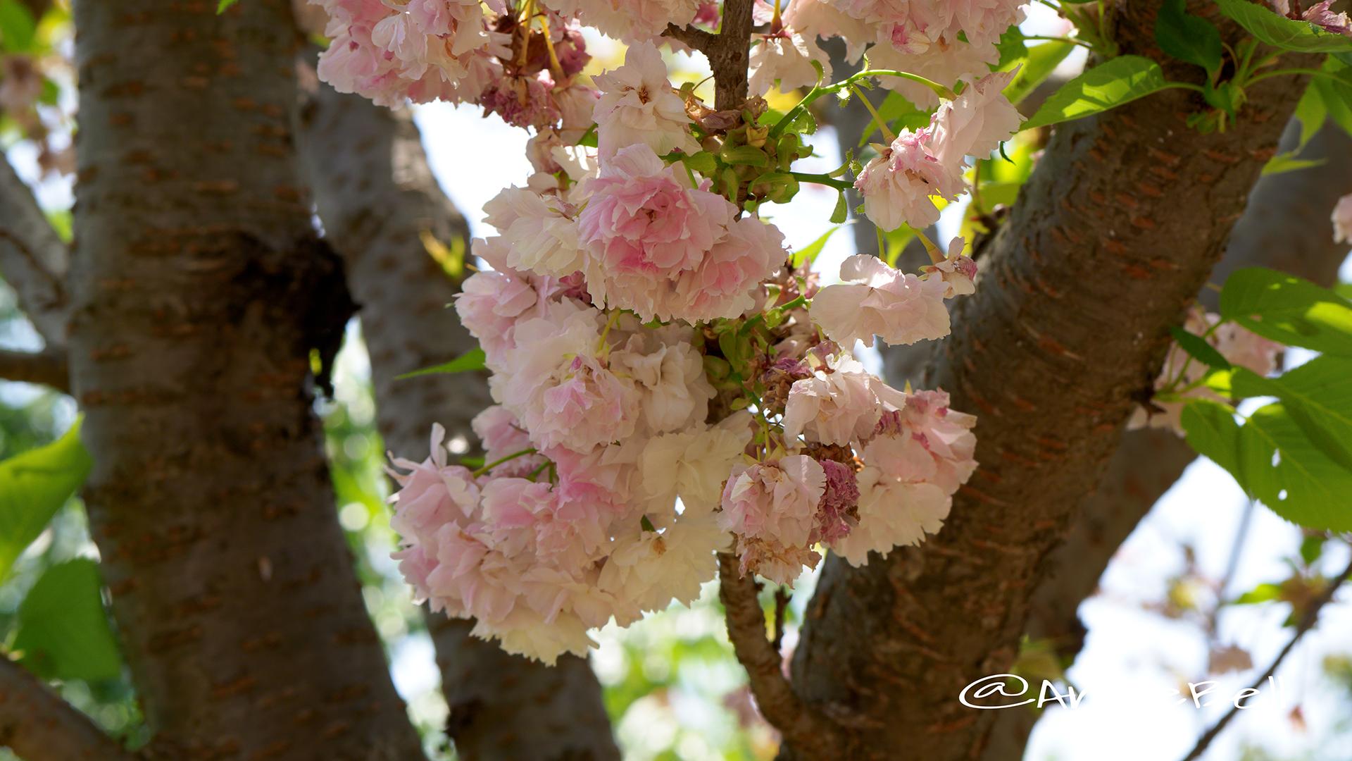 ランラン 蘭蘭(八重桜) Flower Photo3