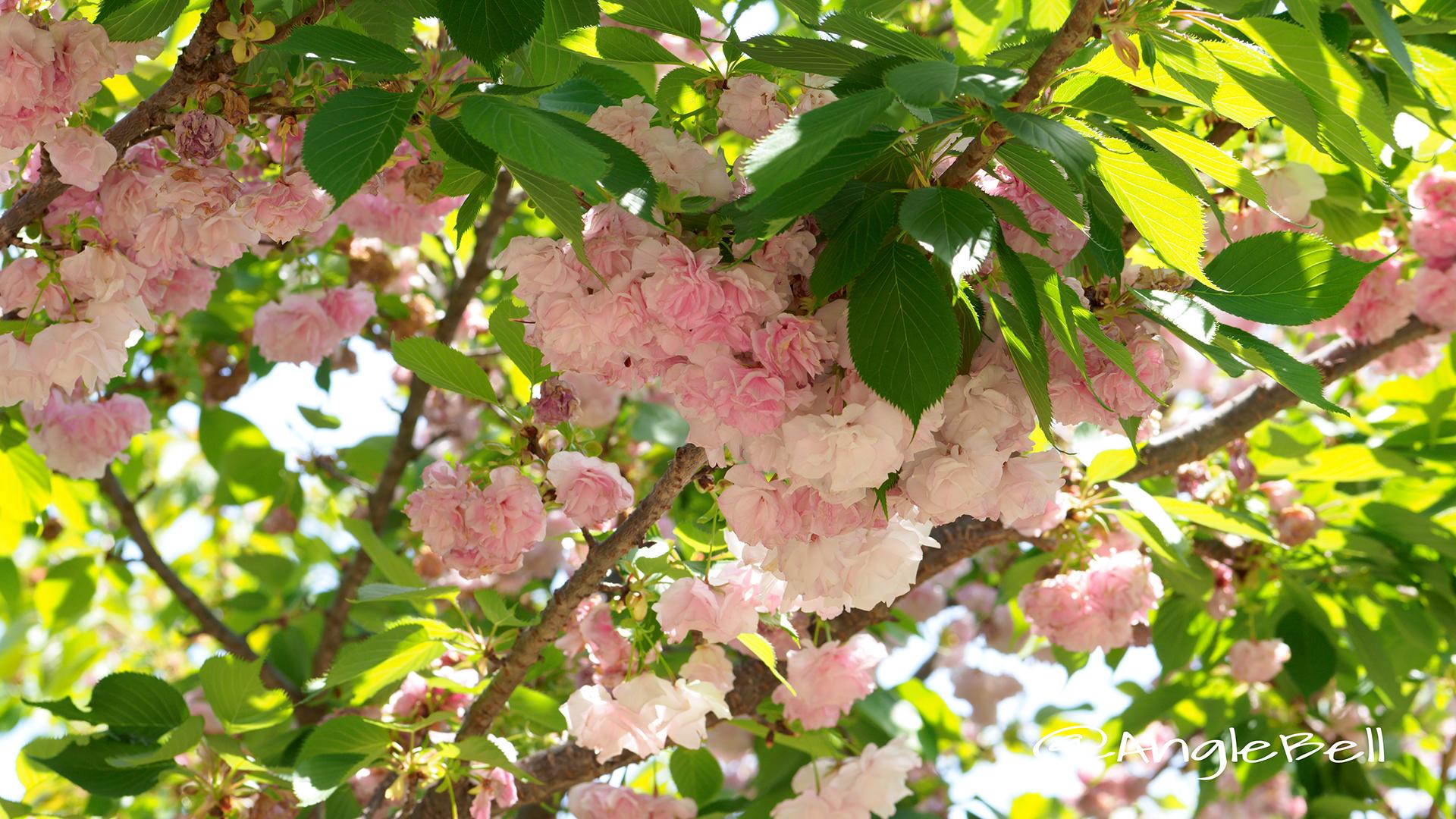 マツマエヤエコトブキ 松前八重寿 Flower Photo2