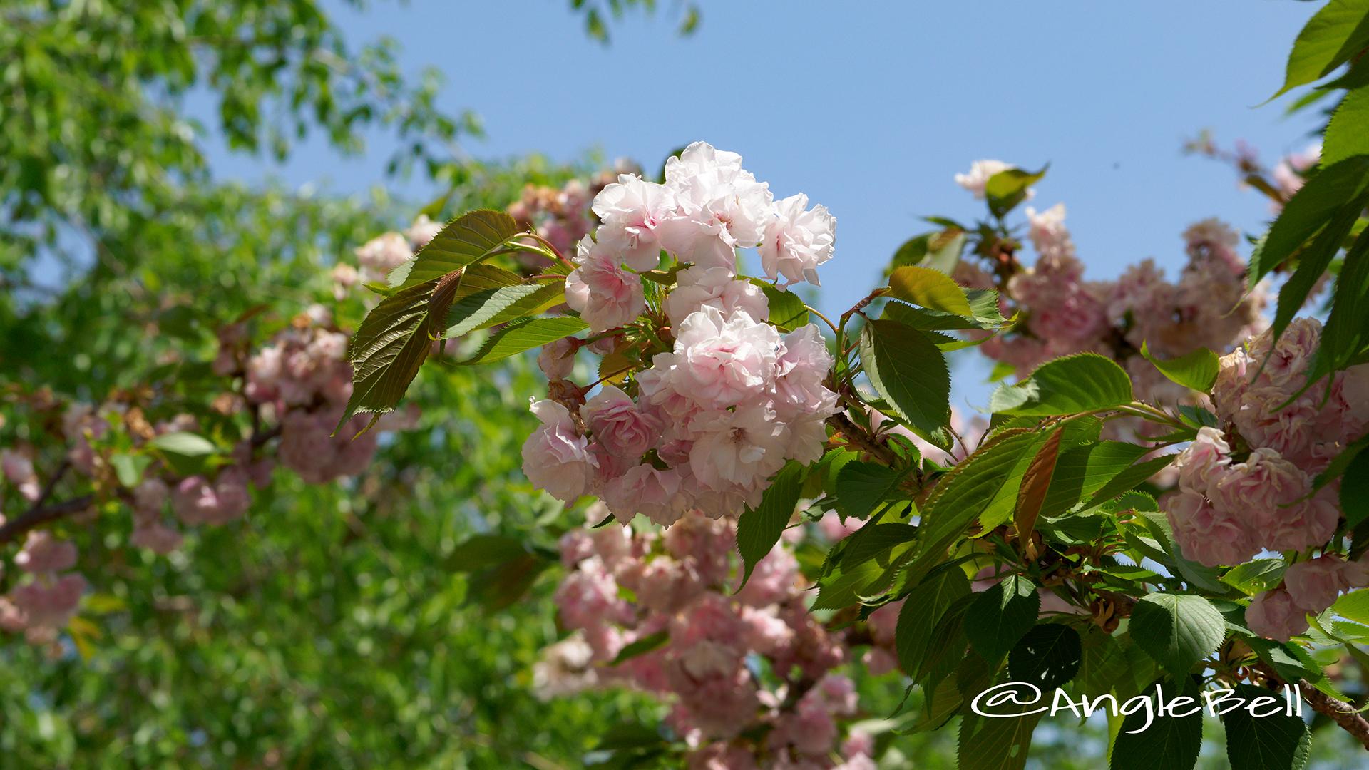 マツマエヤエコトブキ 松前八重寿 Flower Photo3