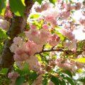 マツマエヤエコトブキ 松前八重寿 Flower Photo1
