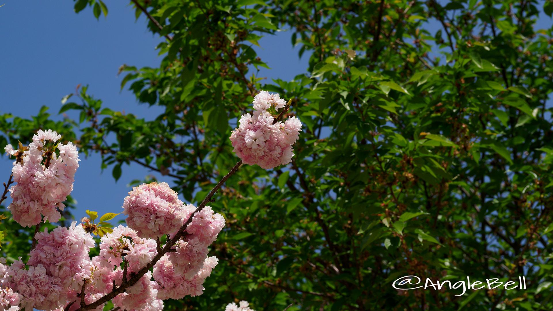 ヤエベニトラノオ 八重紅虎の尾 Flower Photo3