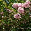 ヤエベニトラノオ 八重紅虎の尾 Flower Photo1