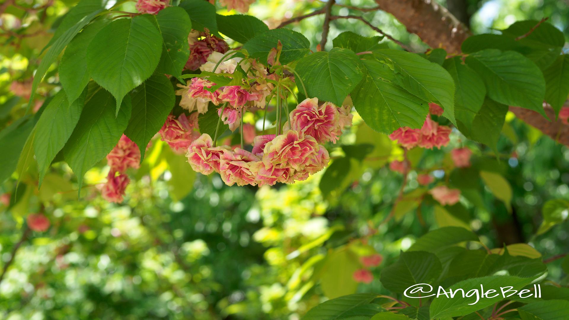スマウラフゲンゾウ 須磨浦普賢象 Flower Photo2
