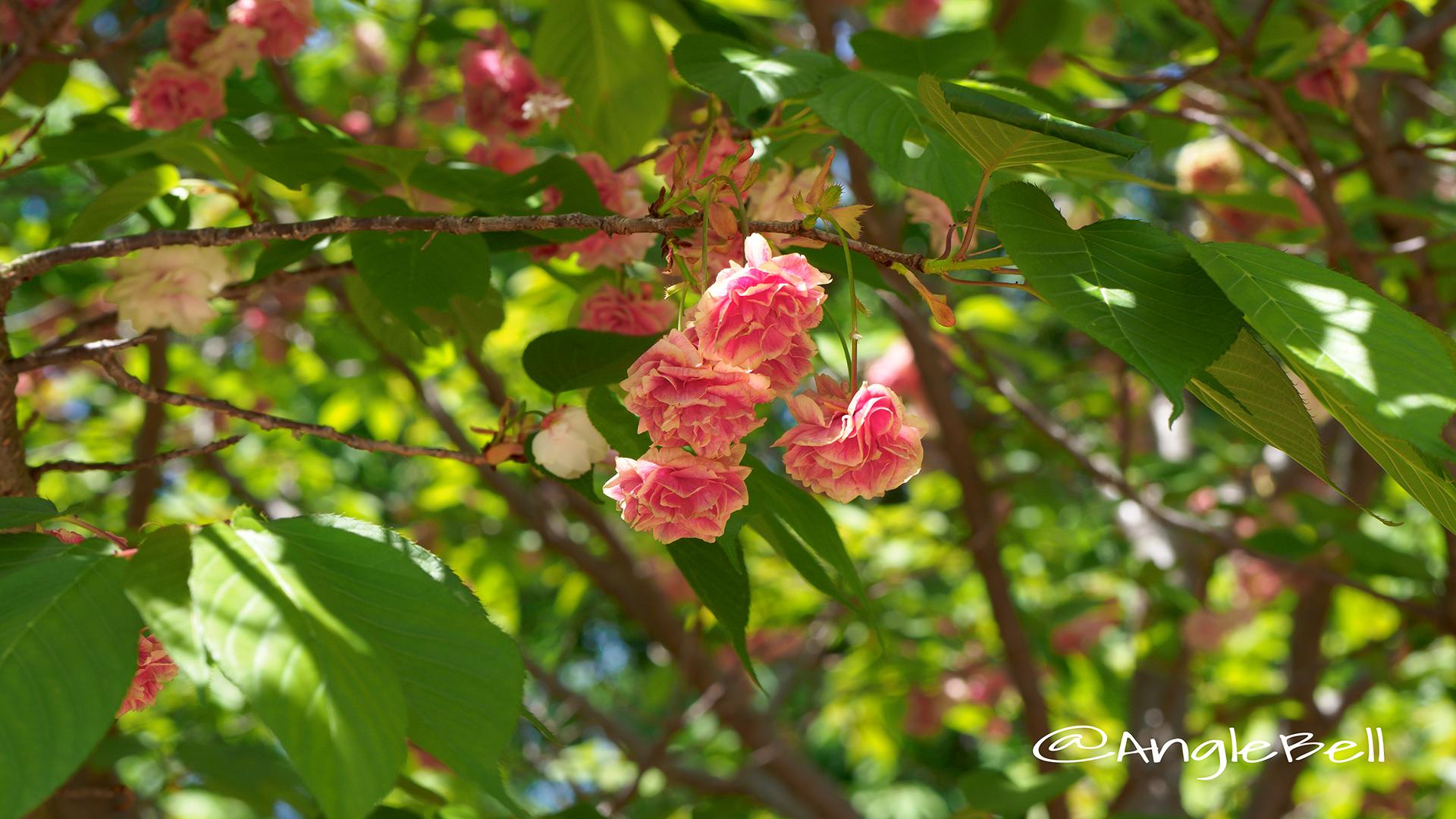 スマウラフゲンゾウ 須磨浦普賢象 Flower Photo3