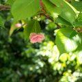 スマウラフゲンゾウ 須磨浦普賢象 Flower Photo1