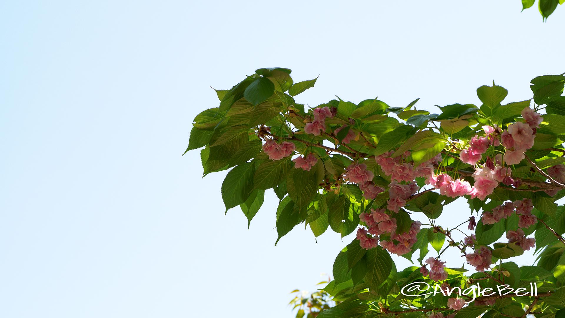 フクロクジュ 福禄寿(八重桜) Flower Photo2