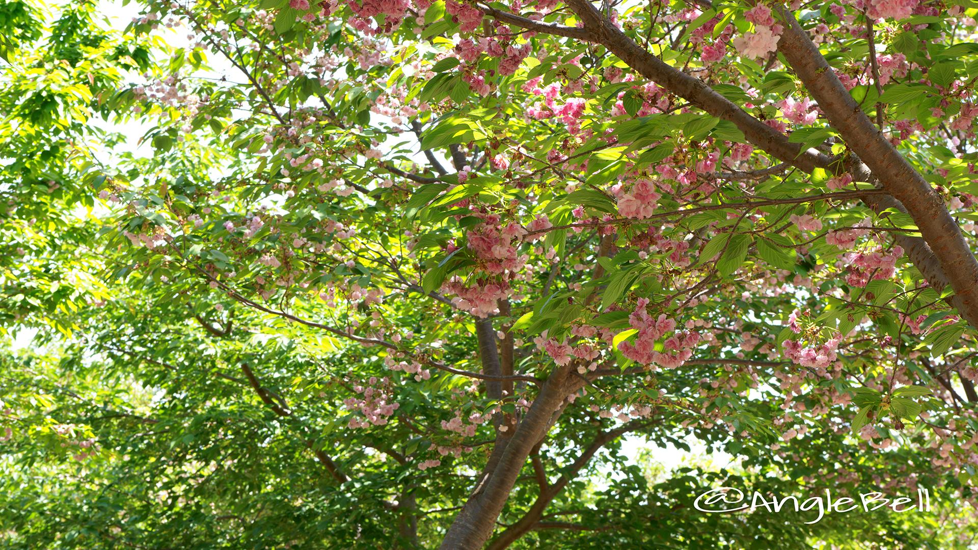 フクロクジュ 福禄寿(八重桜) Flower Photo3