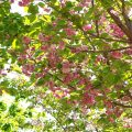 フクロクジュ 福禄寿(八重桜) Flower Photo1