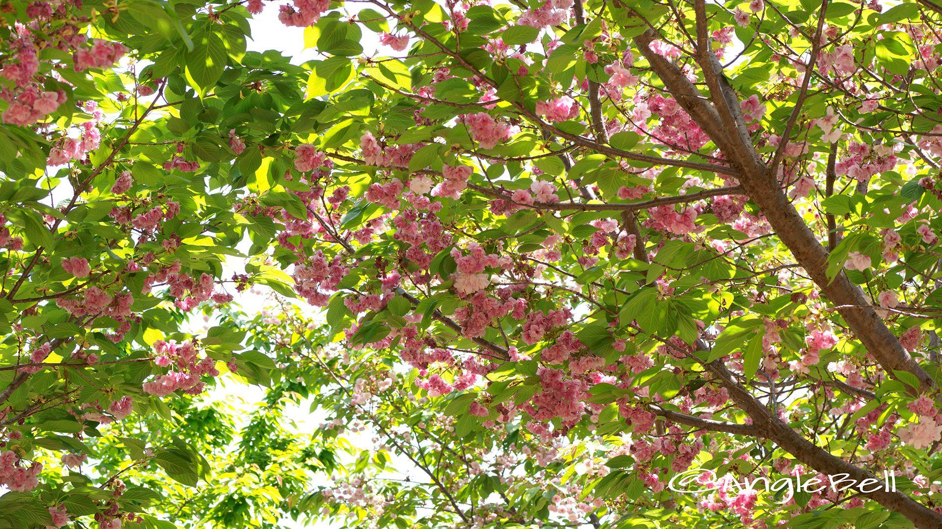 フクロクジュ 福禄寿(八重桜)