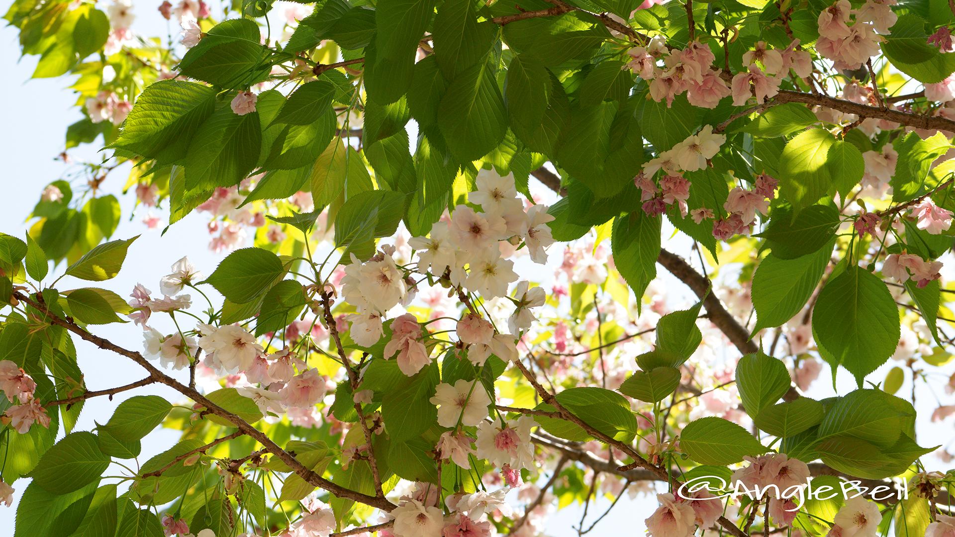 シズカ 静香(八重桜) Flower Photo1