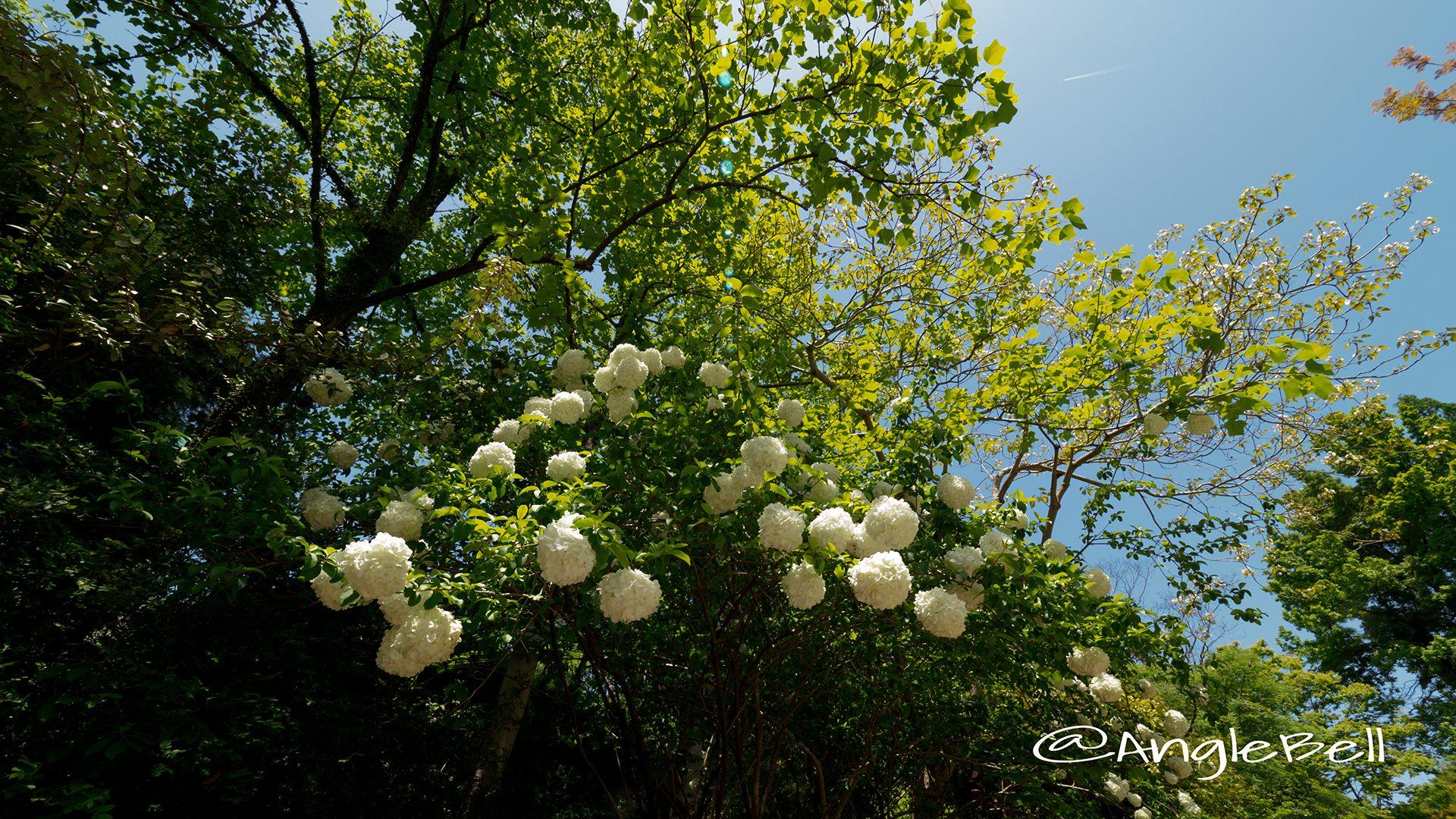 ムーシューチュー 木綉球