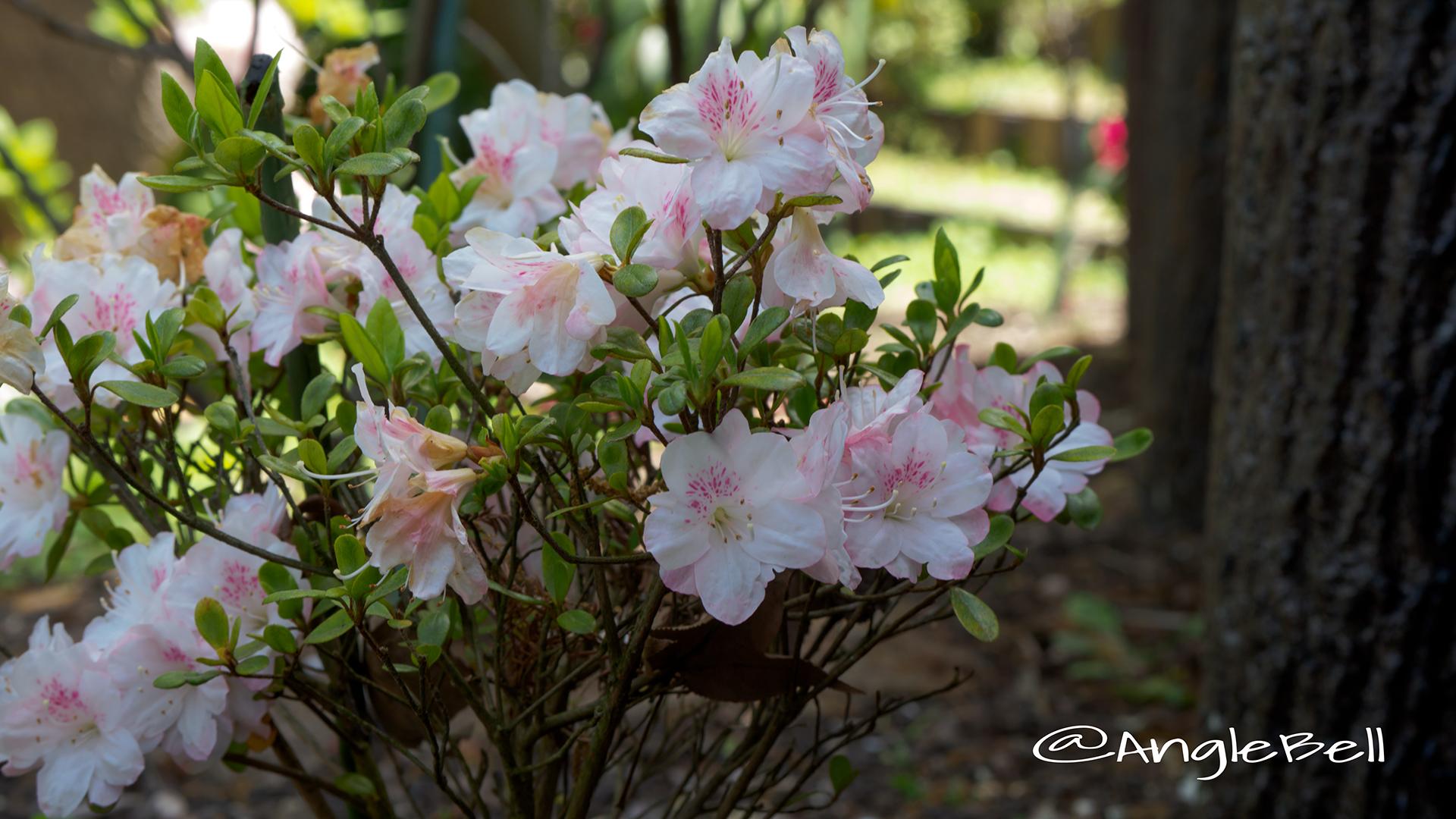 アズマカガミ 吾妻鏡 (石楠花) Flower Photo2