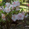 アズマカガミ 吾妻鏡 (石楠花) Flower Photo1