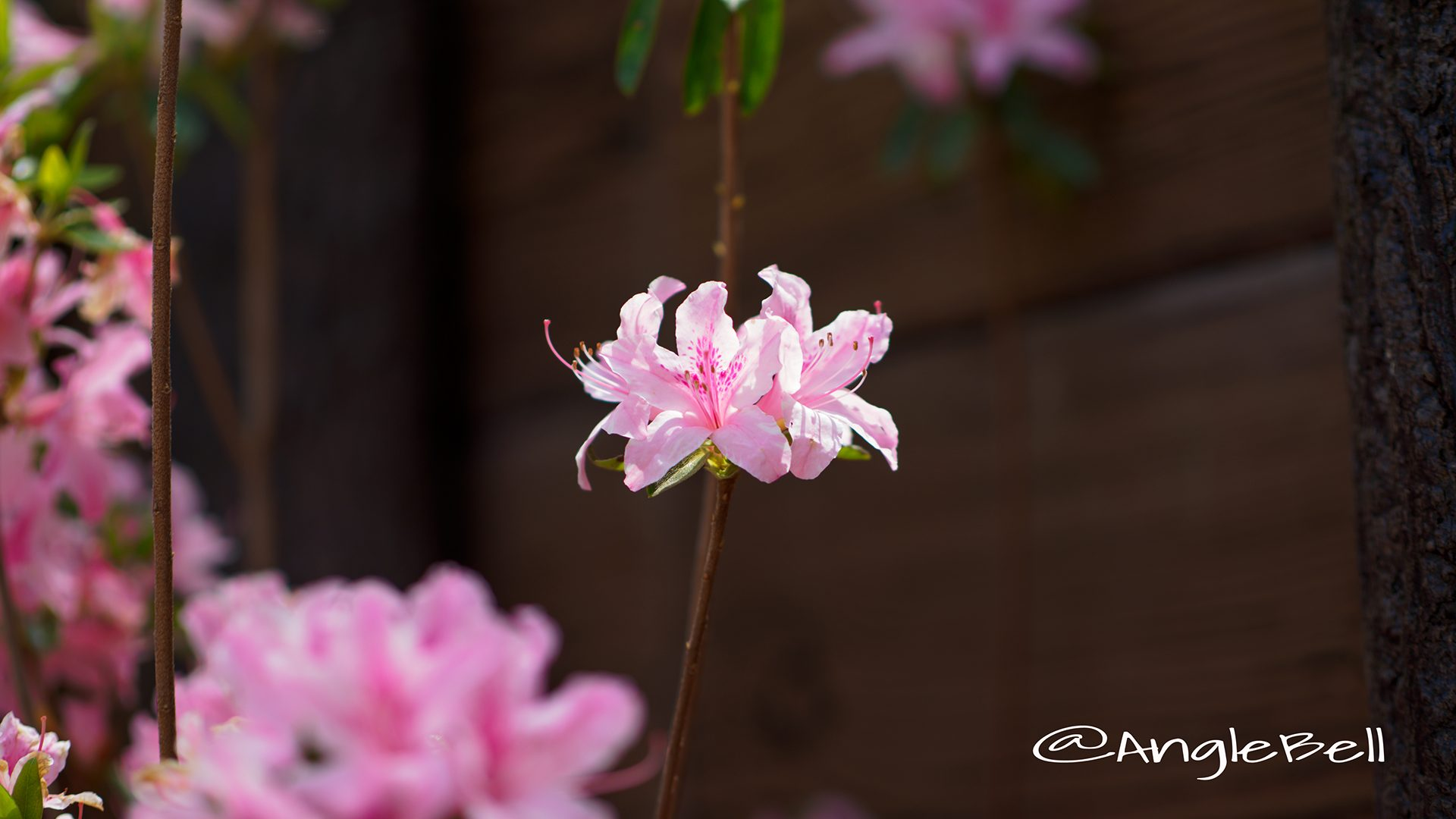 トコナツ 常夏 (石楠花)