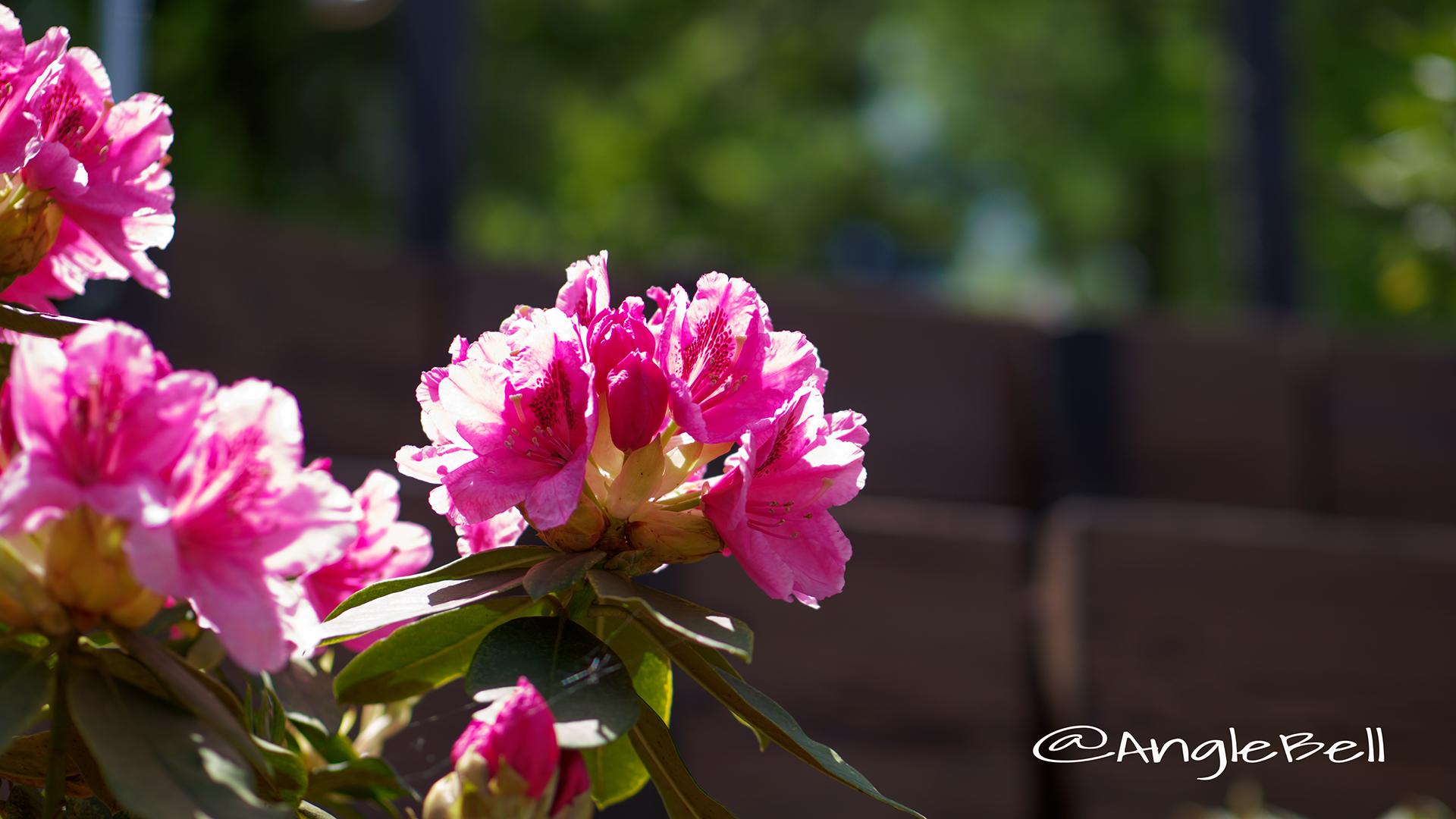 ギンガ 銀河 (石楠花) Flower Photo2