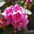 ギンガ 銀河 (石楠花) Flower Photo1