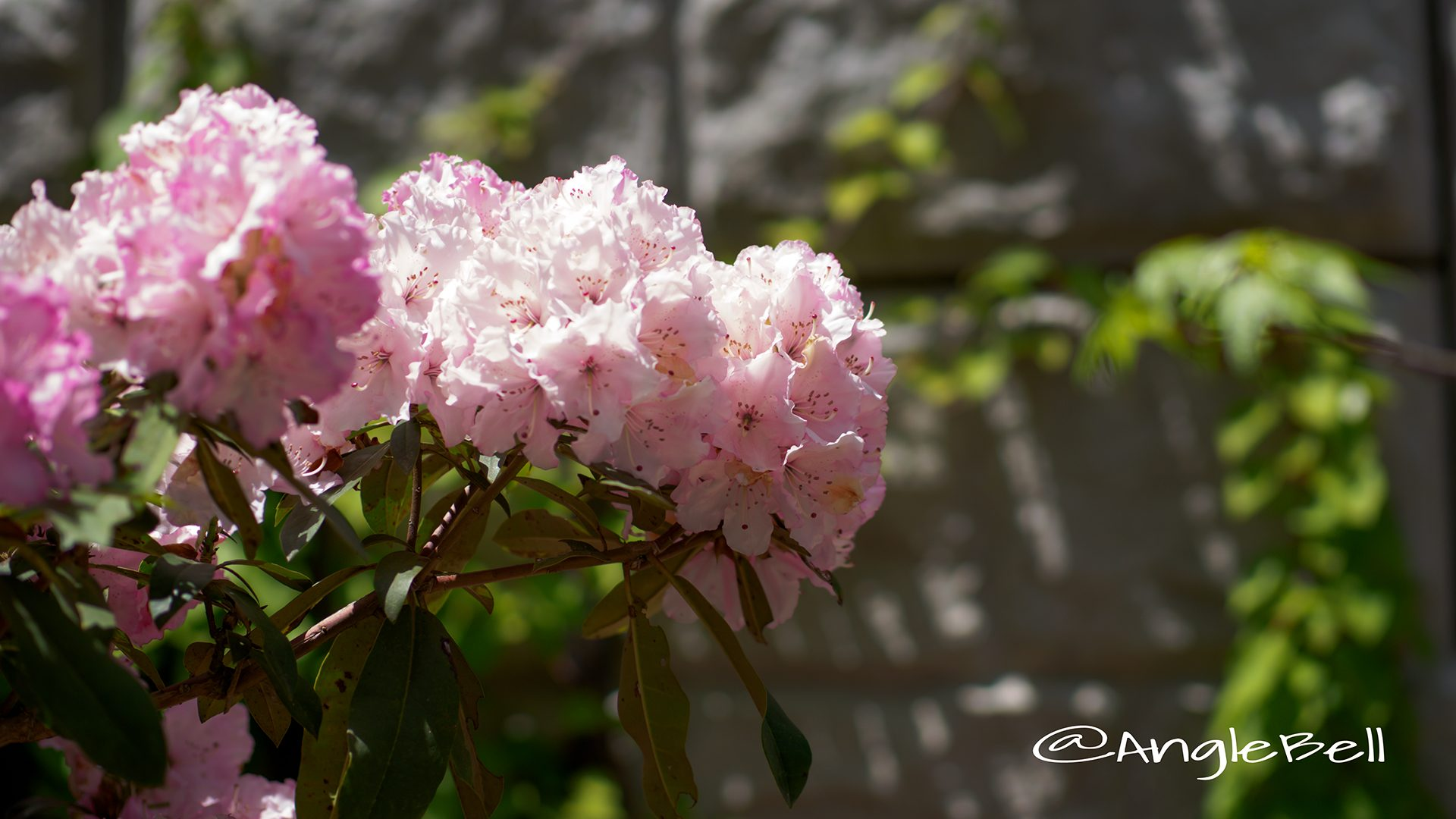 ハナカガリ 花かがり (石楠花)