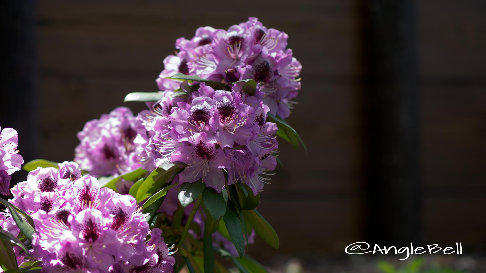 パープルドーム (石楠花) Flower Photo2