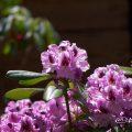 パープルドーム (石楠花) Flower Photo1
