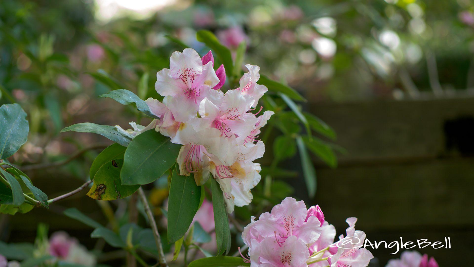 ピンク・パール (石楠花)