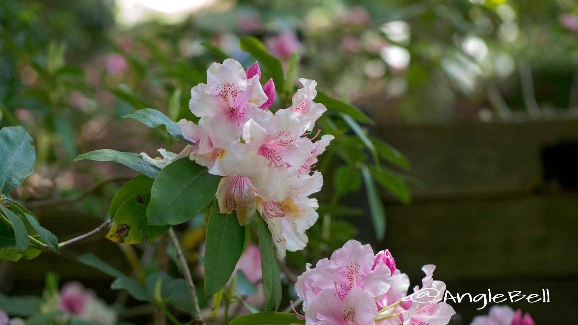 ピンク・パール (石楠花) Flower Photo1