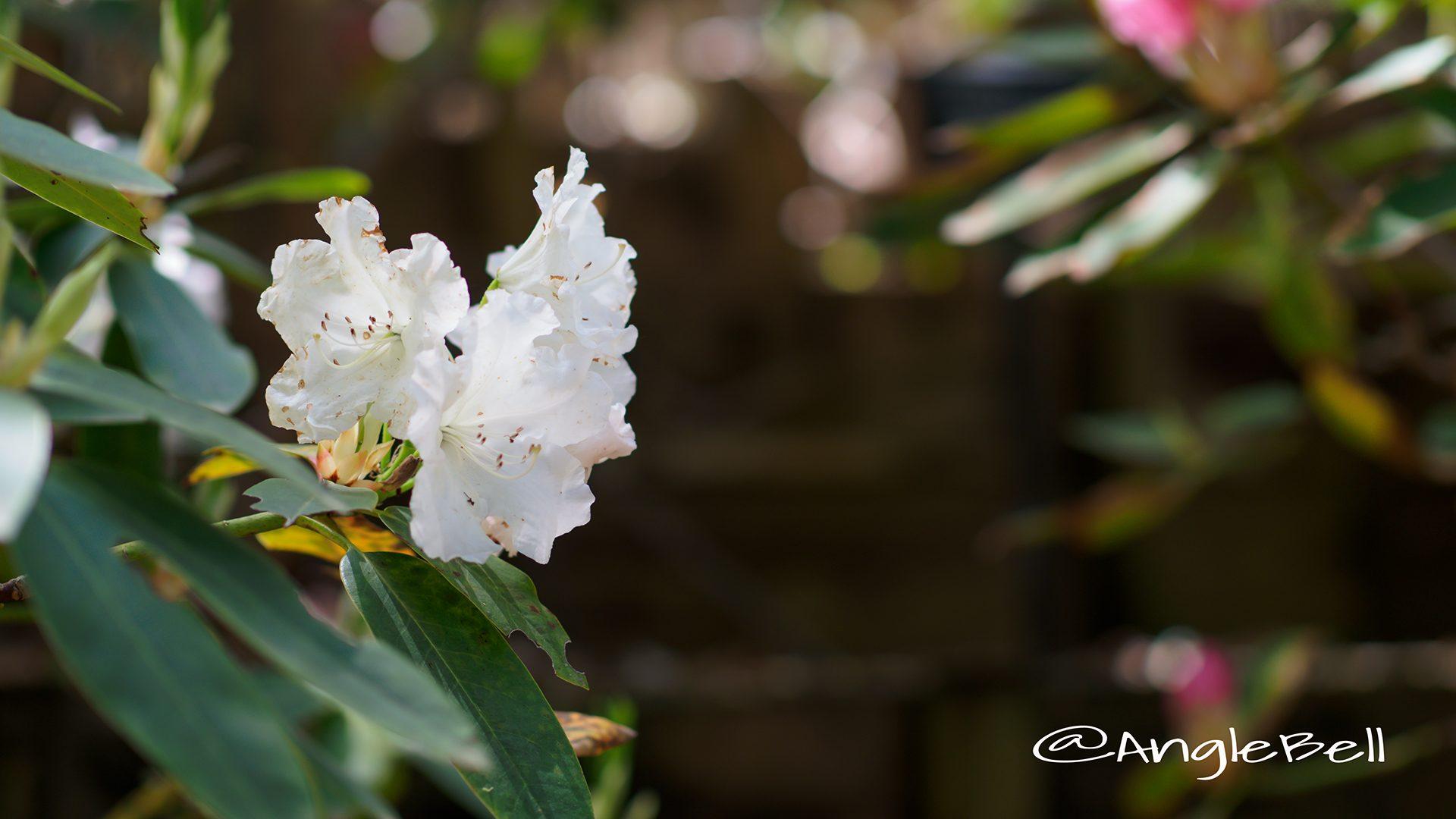 ローダス・ホワイト (石楠花)