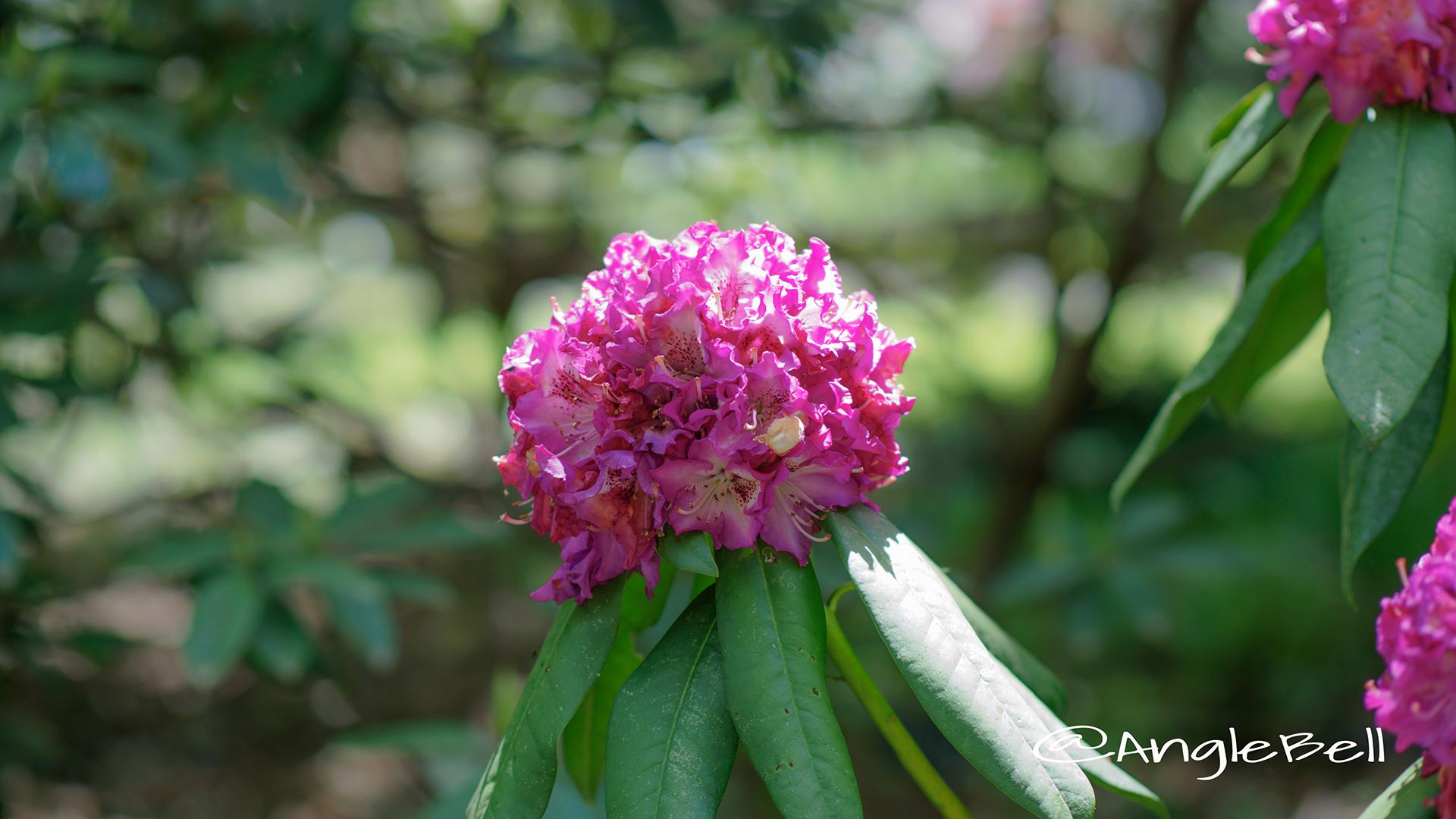 パープル・レインボー (石楠花) Flower Photo1