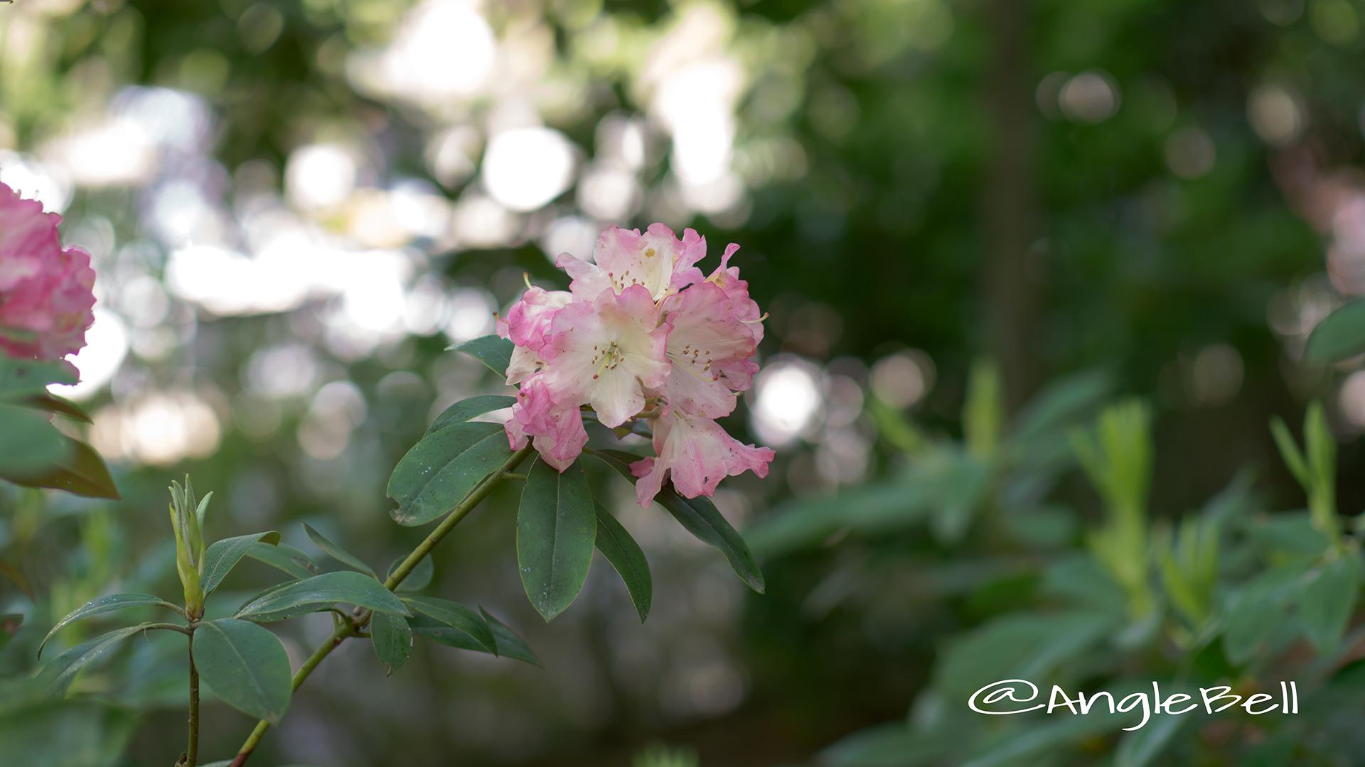 アズマノヨソオイ 吾妻粧 (石楠花) Flower Photo1