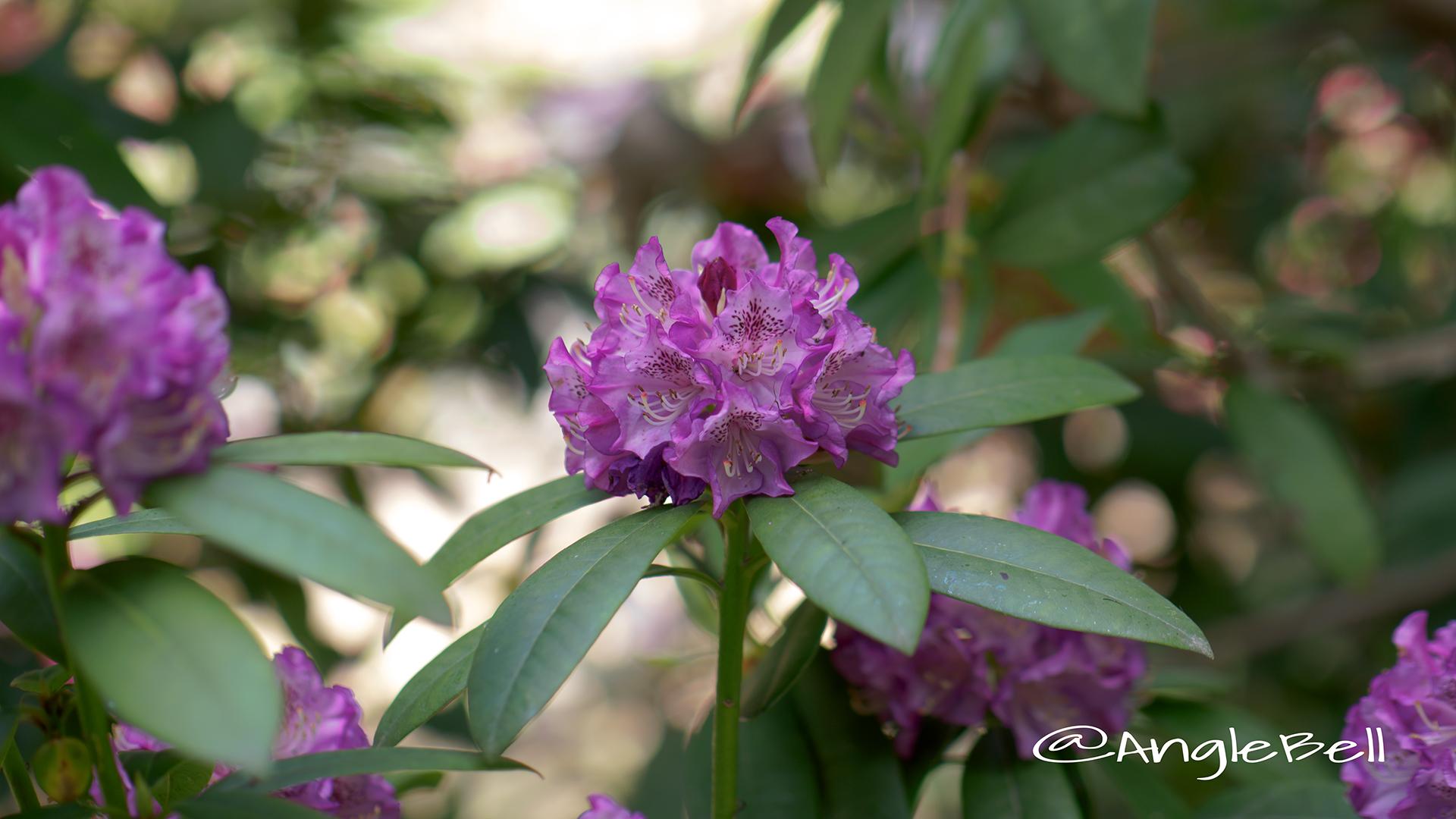 パープル・ジュエル (石楠花) Flower Photo1