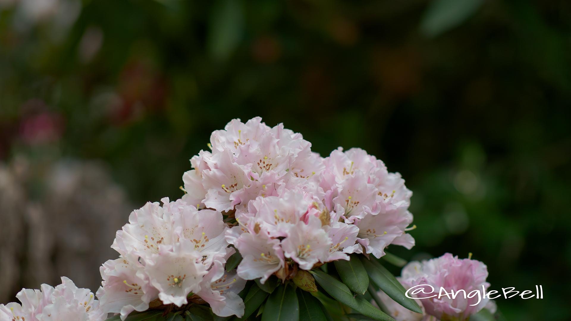モモイロトイキ 桃色吐息 (石楠花) Flower Photo1