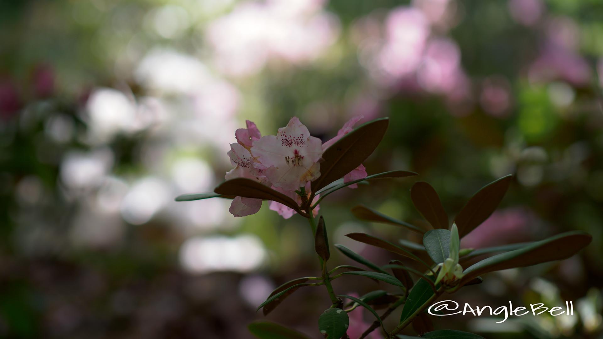 ピンクドリーム (石楠花) Flower Photo1