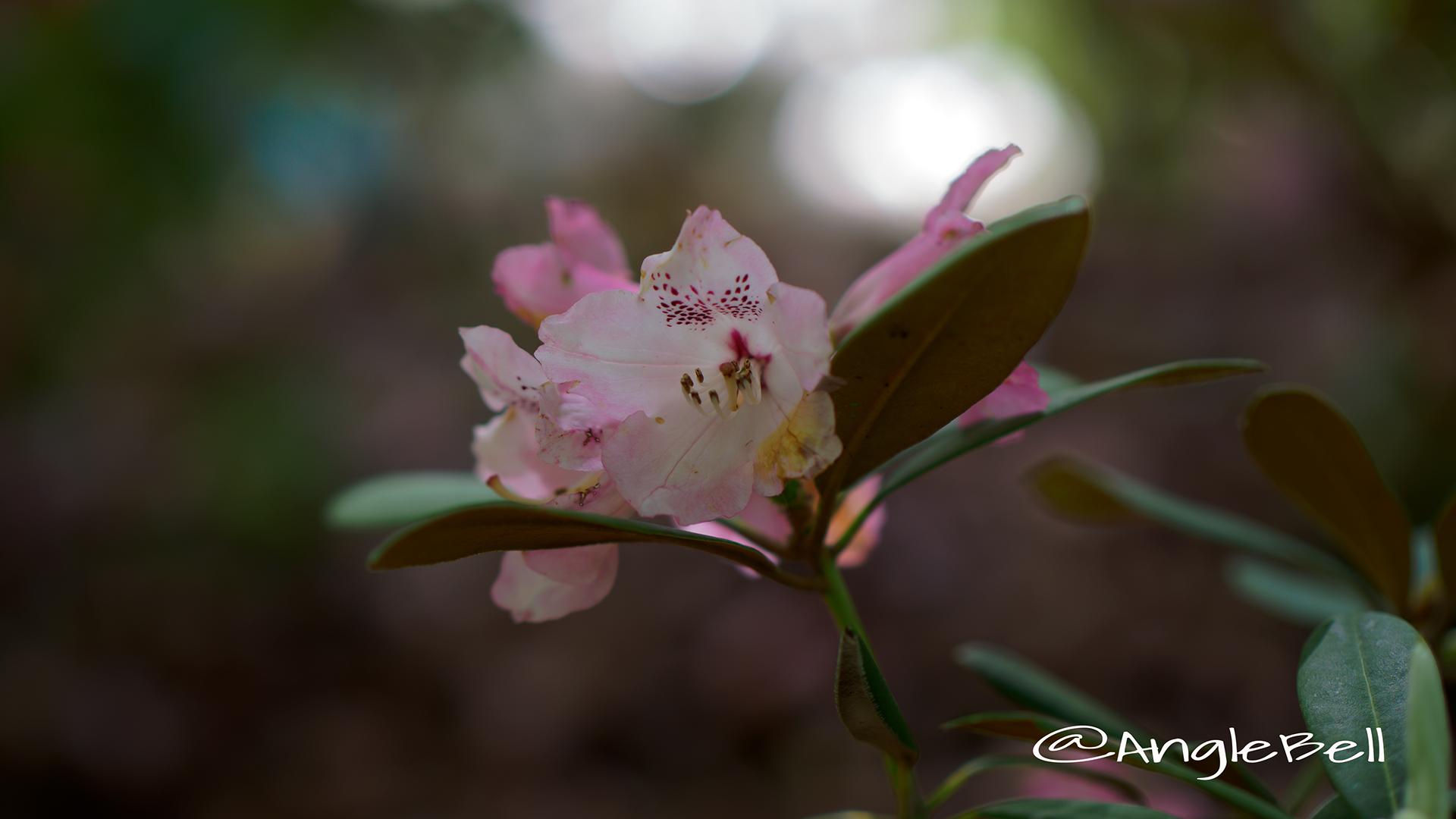 ピンクドリーム (石楠花) Flower Photo2