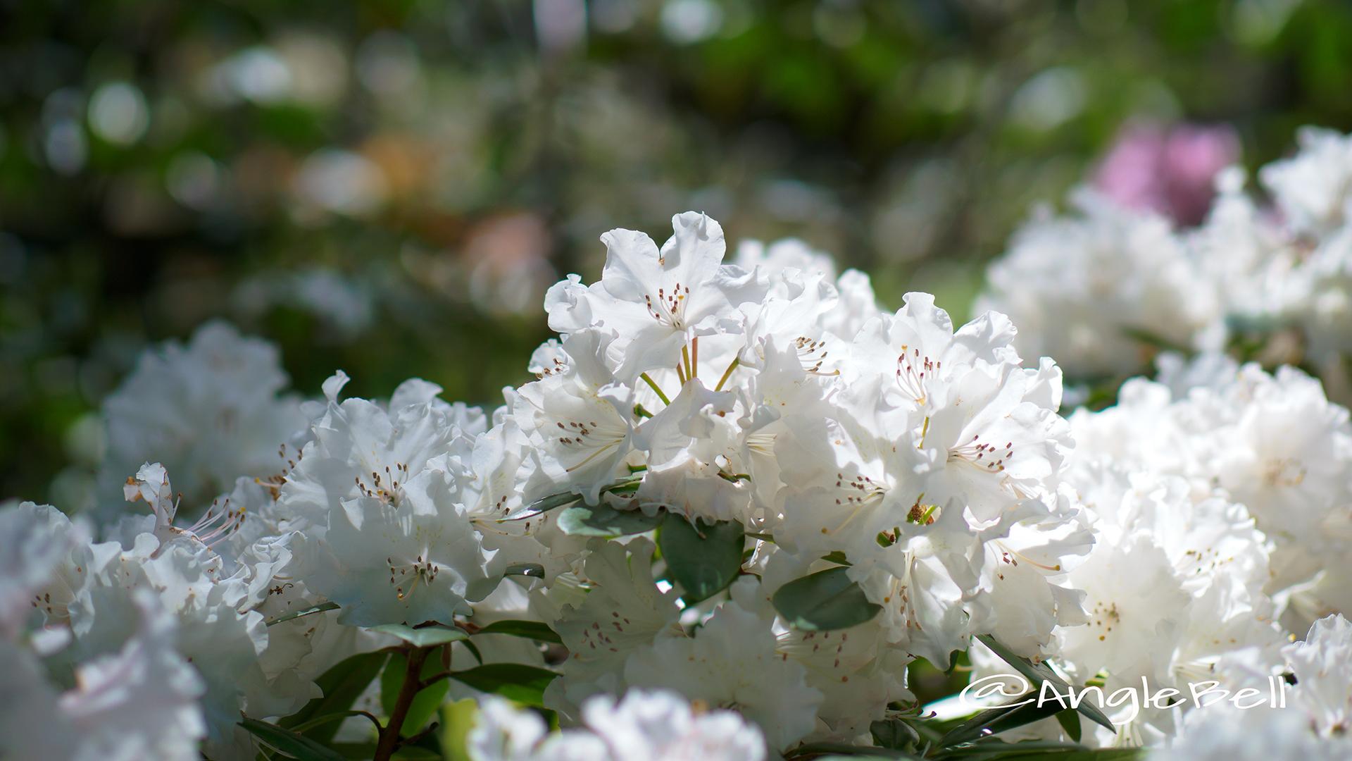 ウェディング・ブーケ (石楠花) Flower Photo2