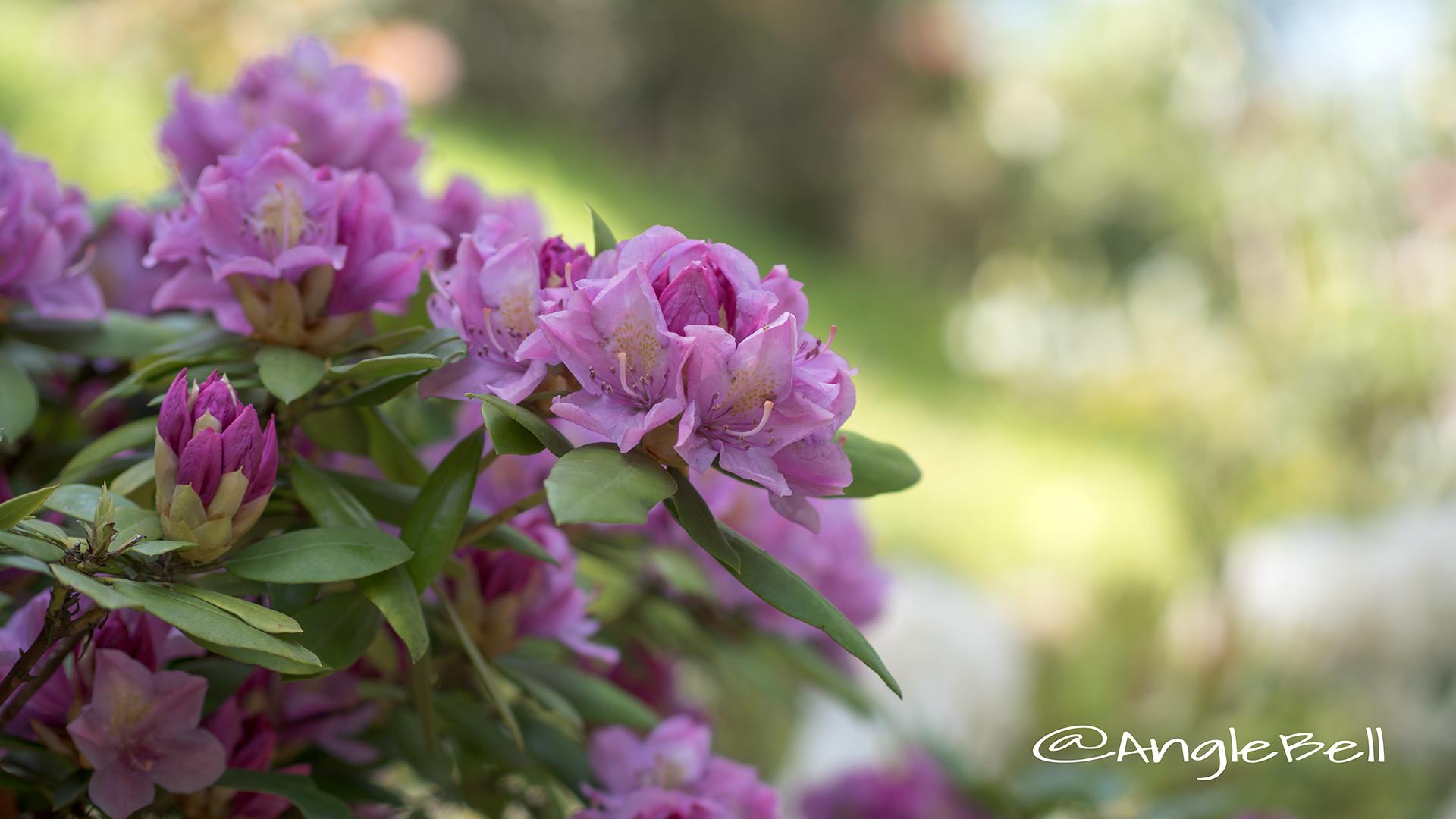 スプリング・タイム (石楠花) Flower Photo2