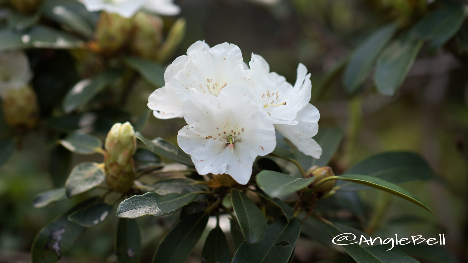 コウザン 黄山 (石楠花)