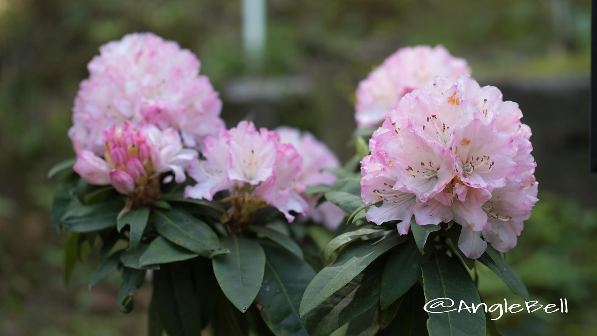 ファースト・ラブ (石楠花) Flower Photo2
