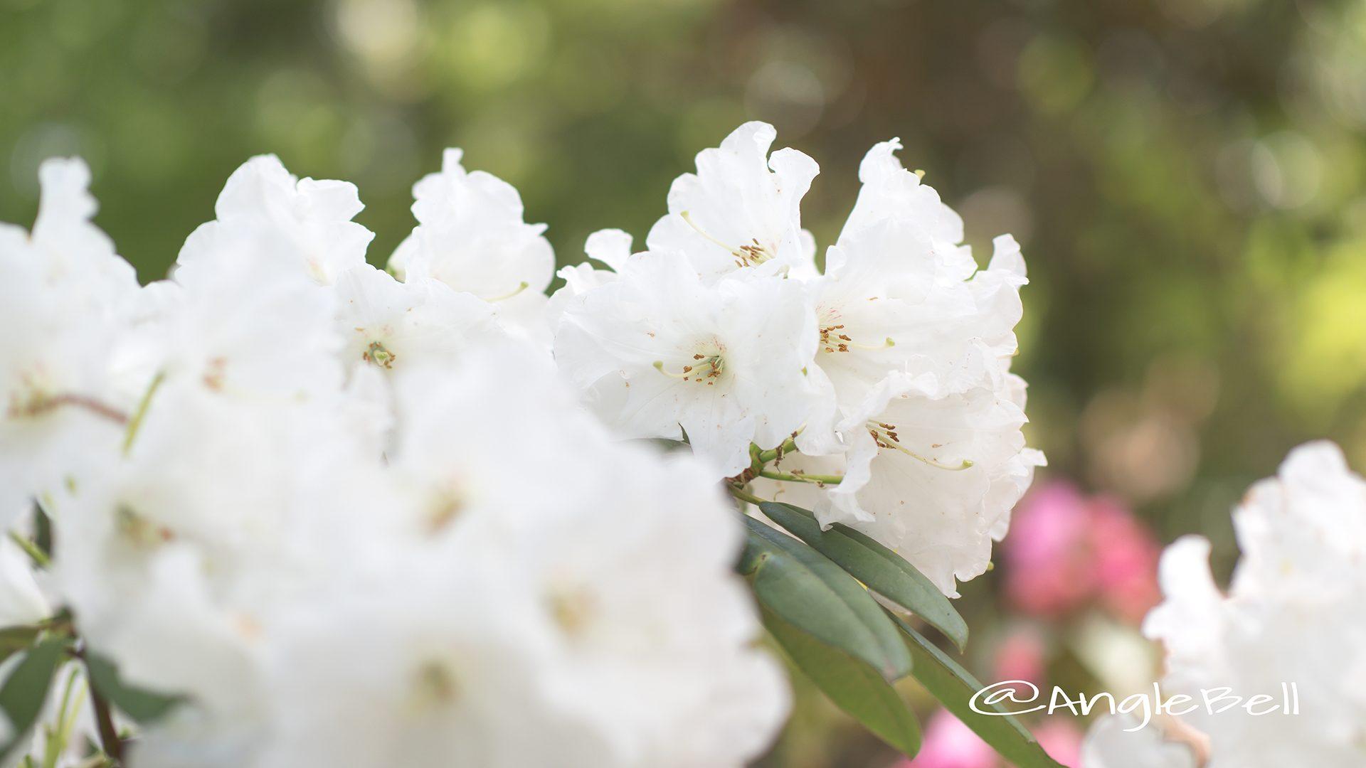 ヒラノシロ 平野白 (石楠花)