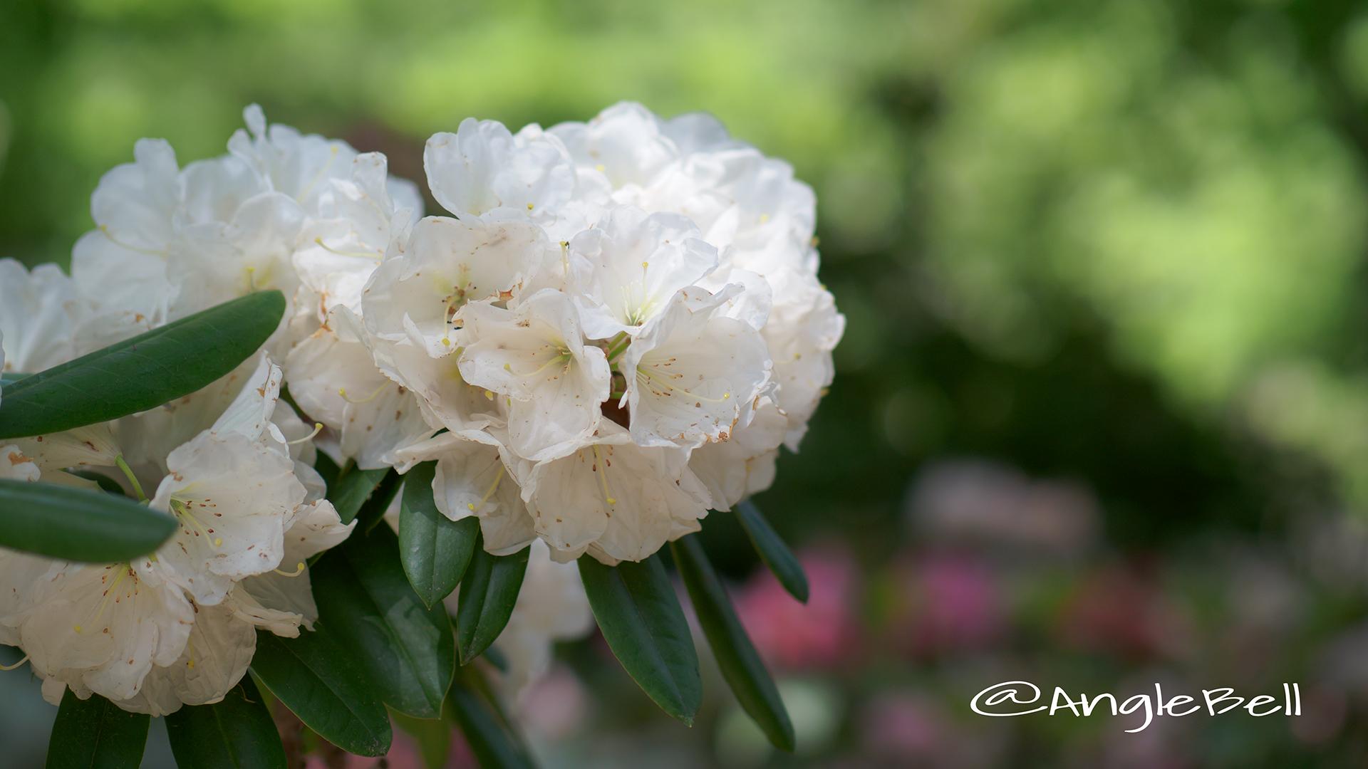 シンジュヒメ 真珠姫 (石楠花) Flower Photo2