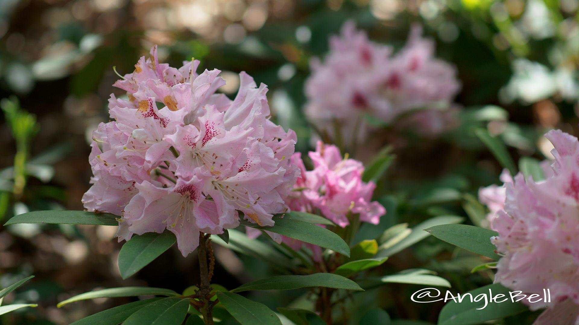 チア・ガール (石楠花)